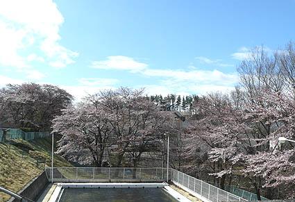 プールと桜.JPG