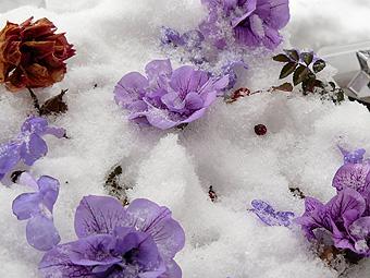 凍ったバラjpg.JPG